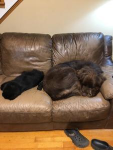 newfoundland dog, norwegian black forest cat, cbd, joint pain