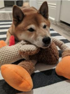 shiba inu, cute dog