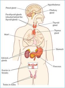 endocrine system, stress