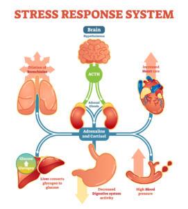 stress response system, stress